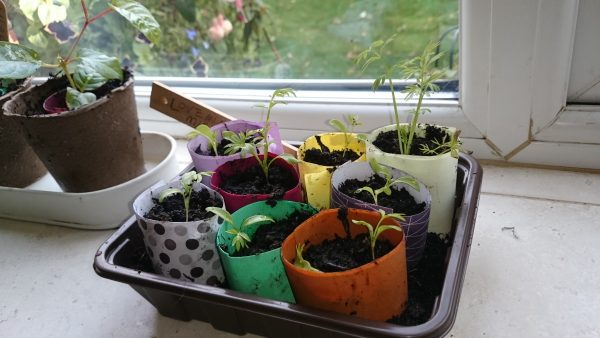 seedlings in papaer pots on a windowsill