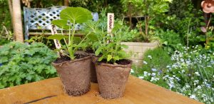 plug plants in biodegradable plant pots