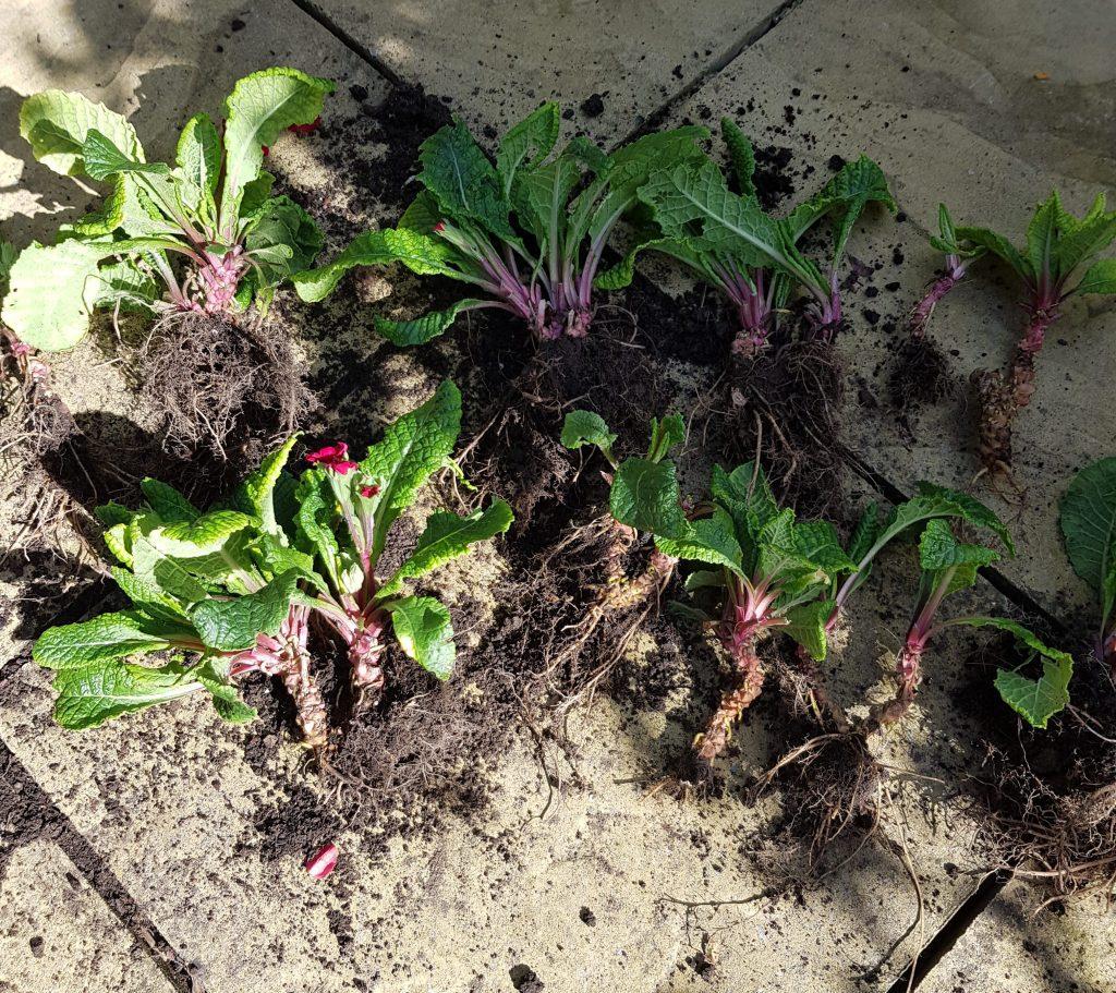Primula plant split into crowns