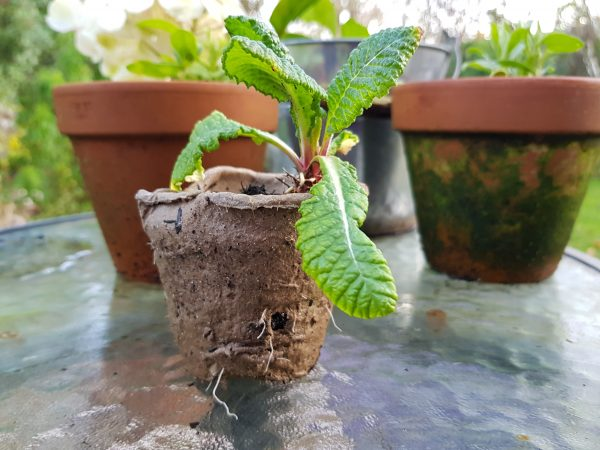 Primula offset in biodegradable pot showing grown roots