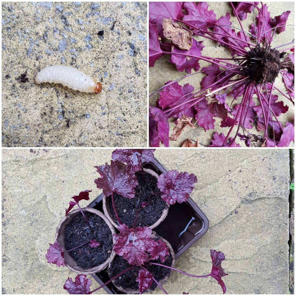 Heuchera vs vine weevil