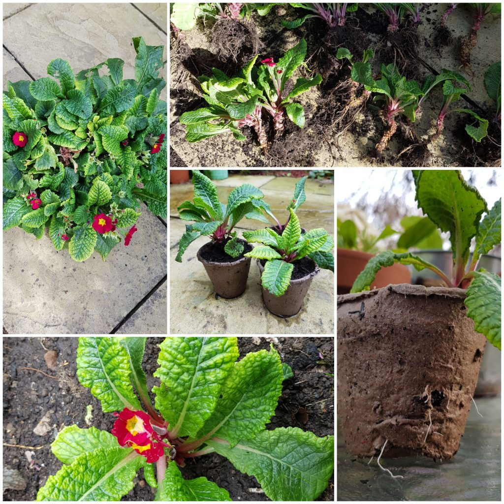 Primula plants being split to create new free plants