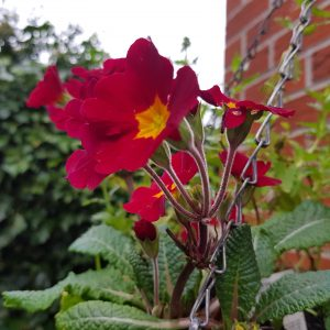 Red primula with yellow centre
