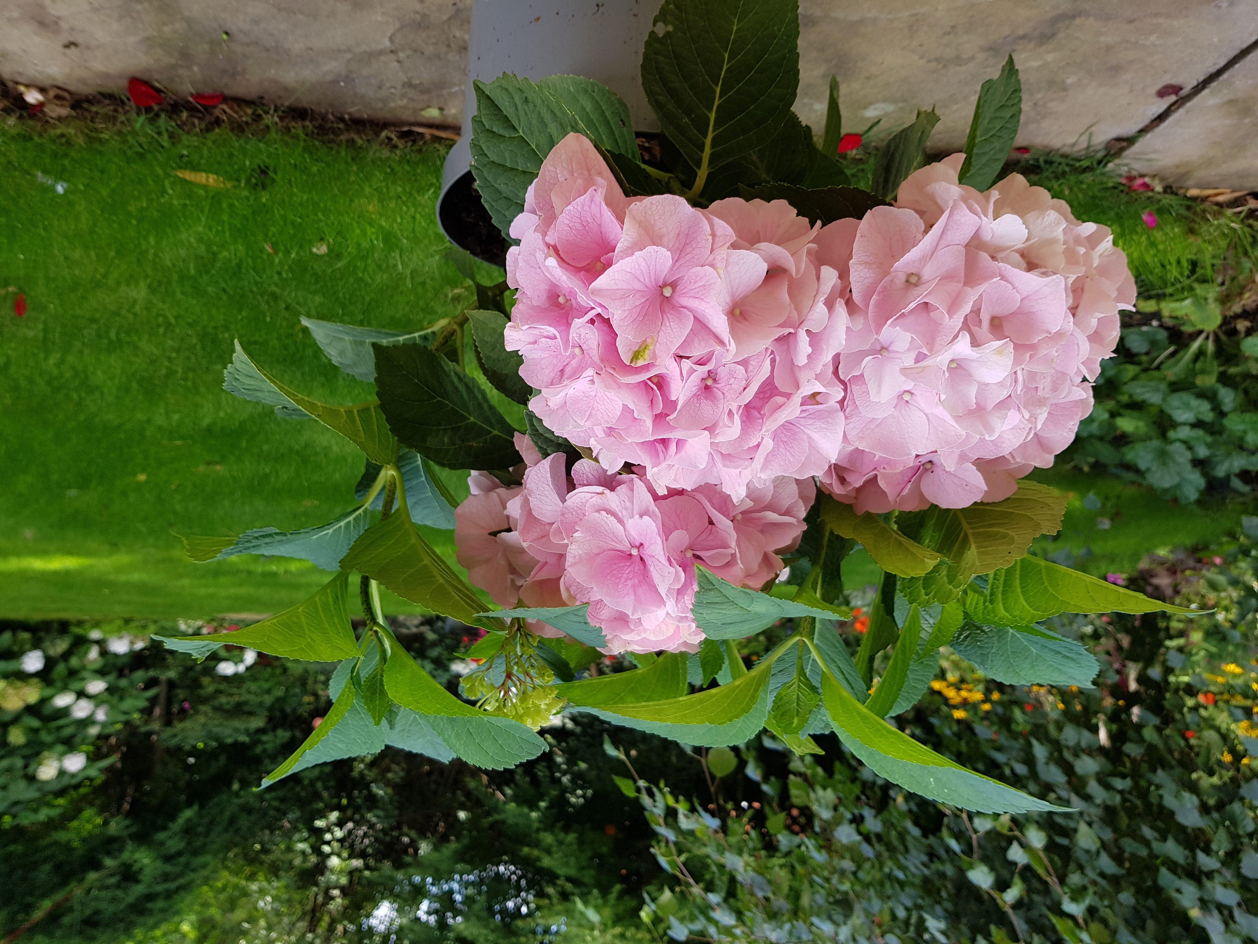 pink flowered Mophead shrub in garden