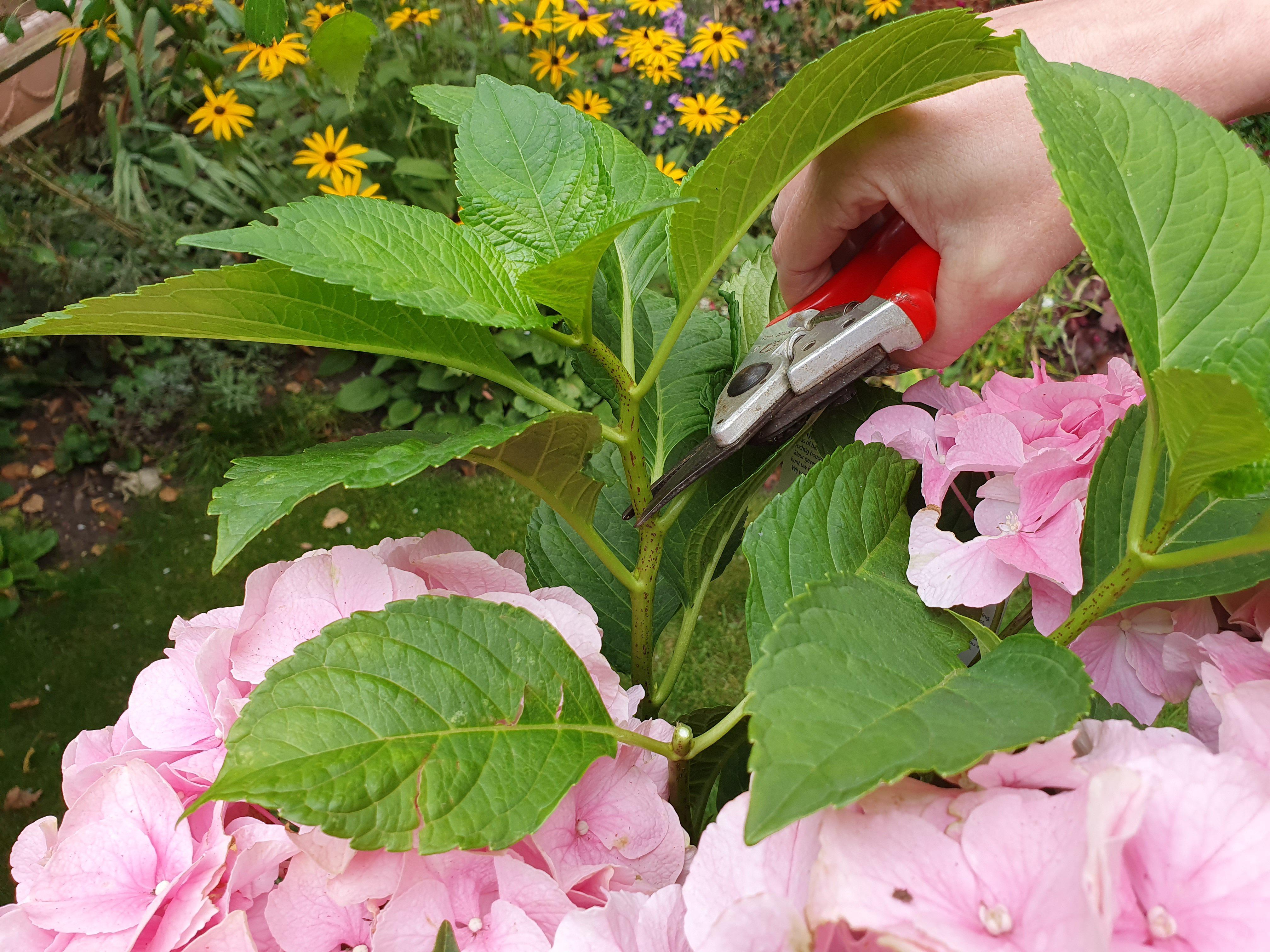 Use secateurs to cut above a hydrangea leaf node