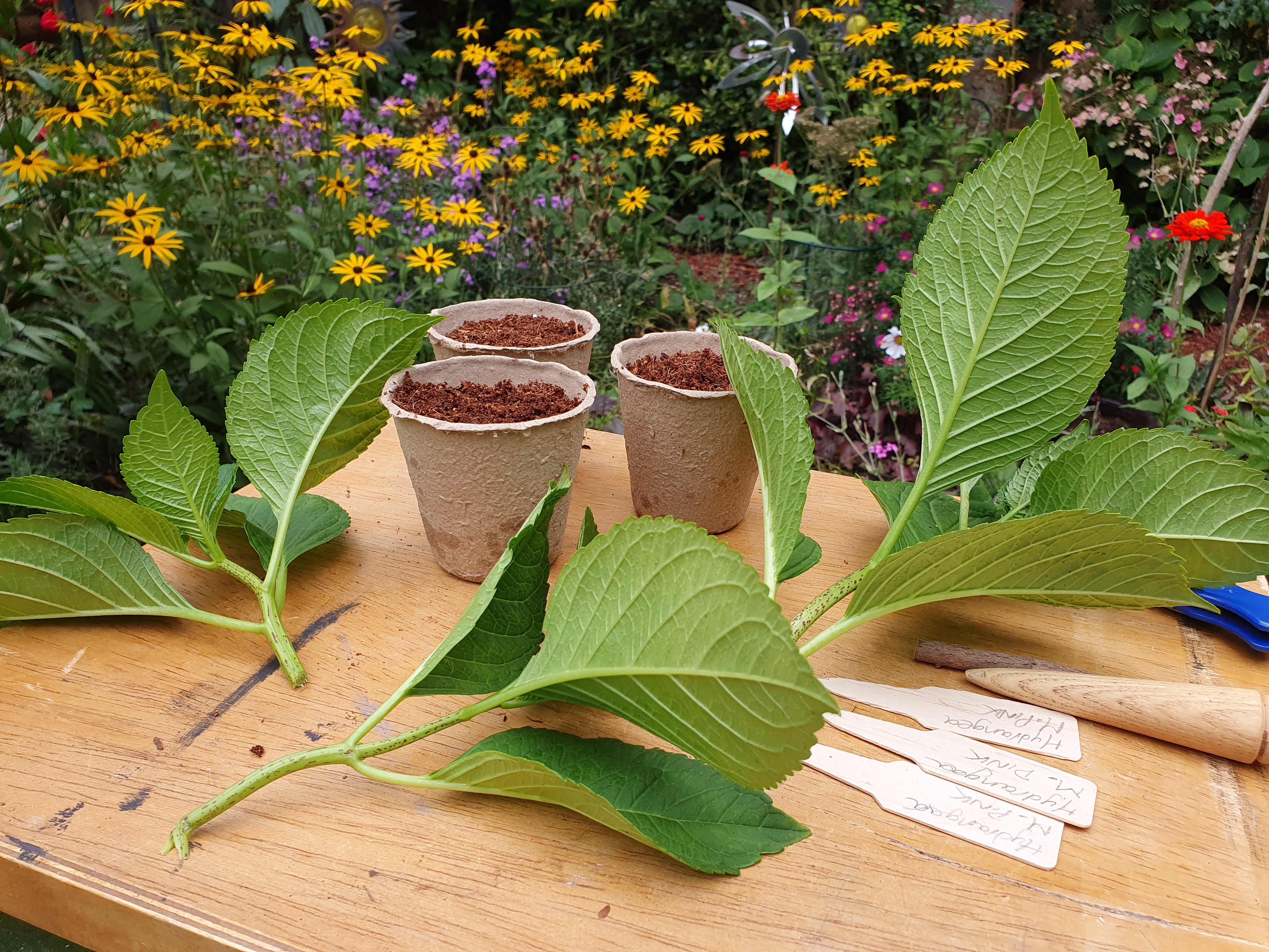 hydrangea cuttings straight from the plant