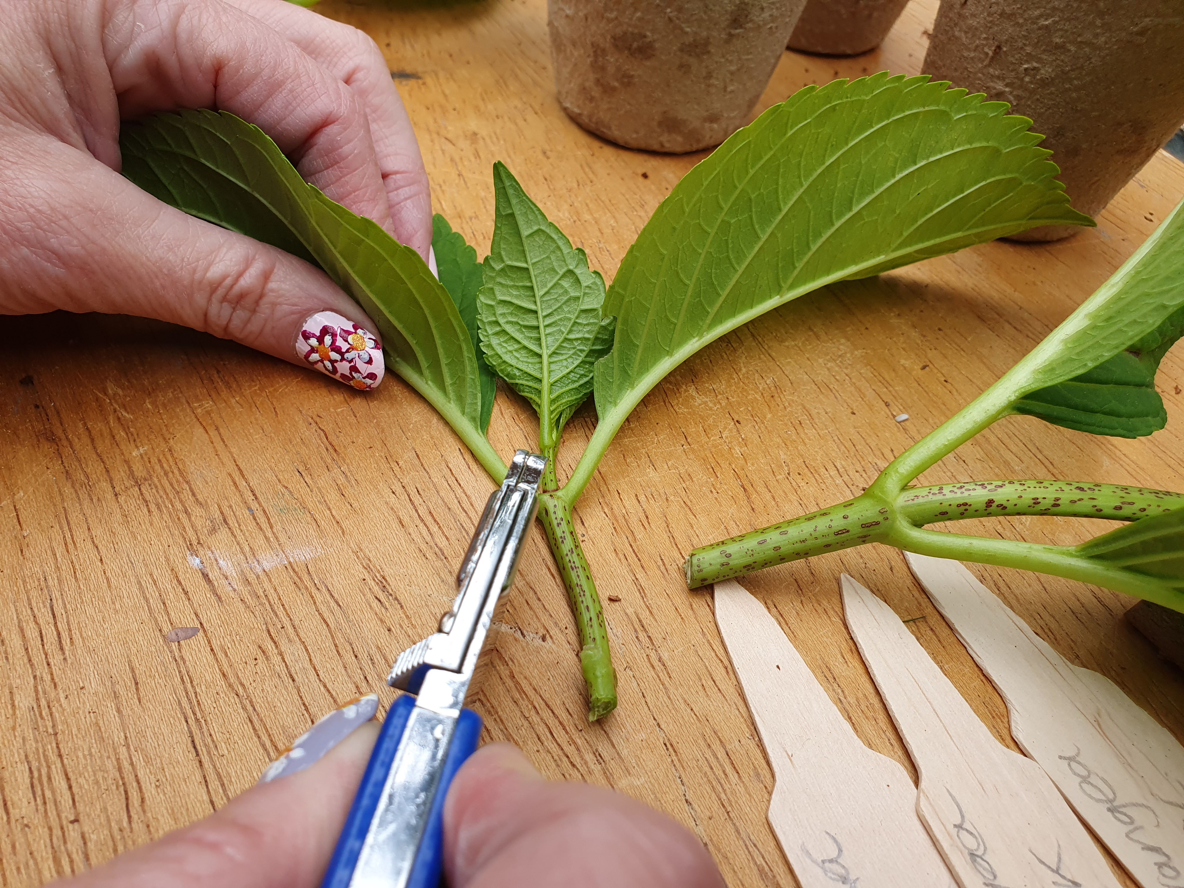 Trimming hydrangea cuttings