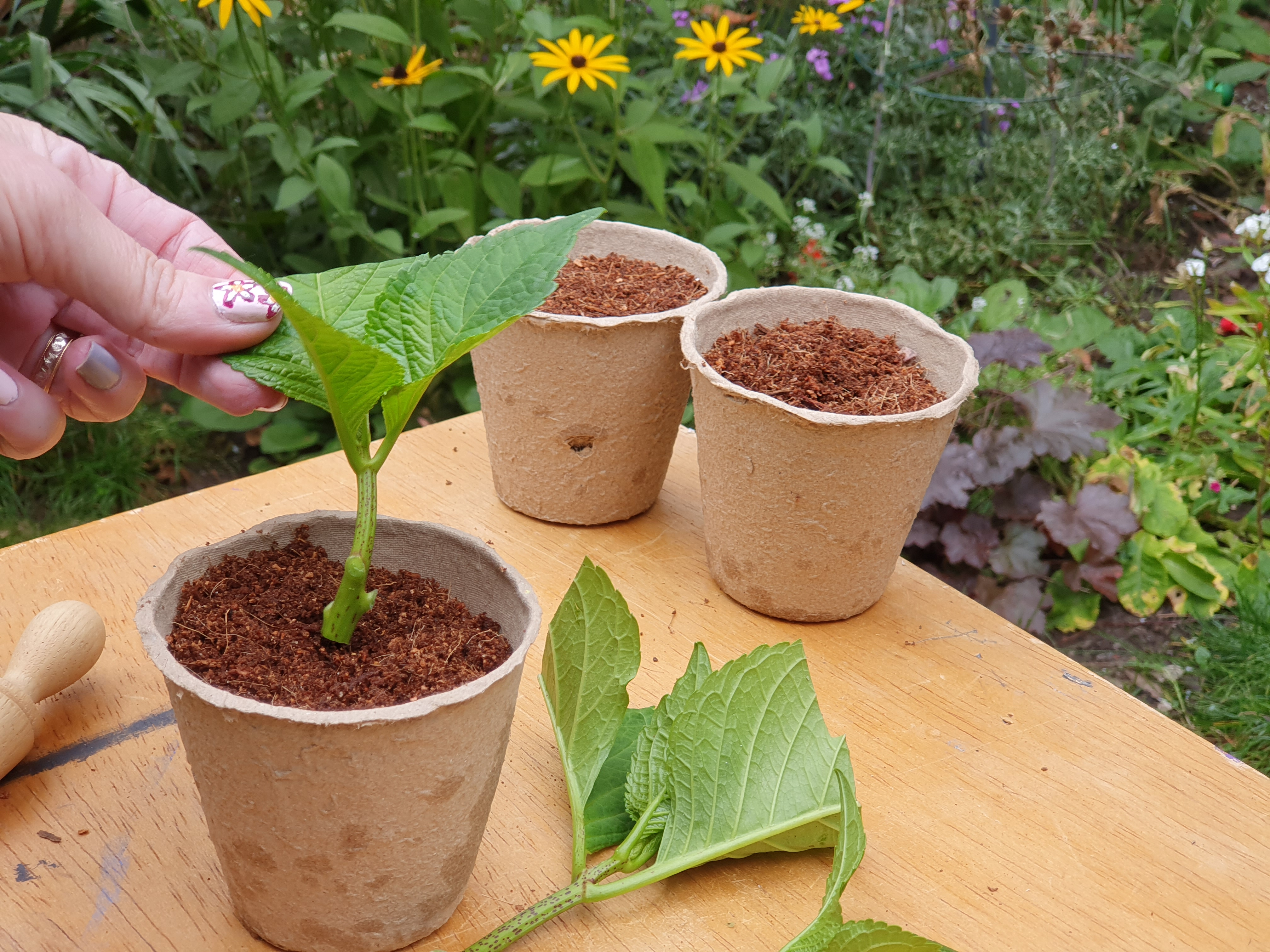 Insert hydrangea cutting into biodegradable pot of coir compost